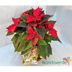 Stella di Natale Rosso