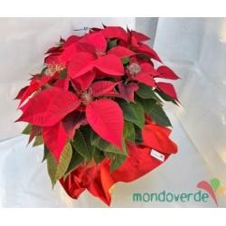 Stella di Natale Grande Rosso