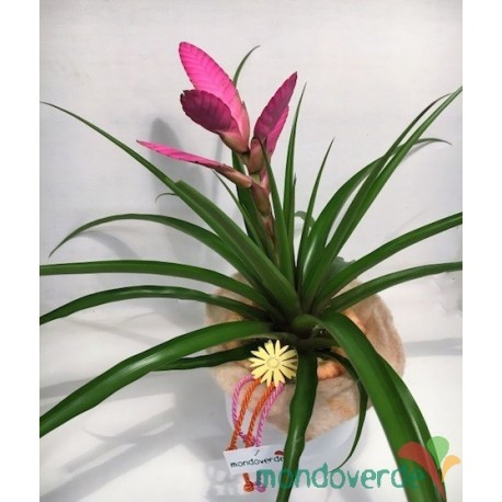 Bromelia Tillandsia