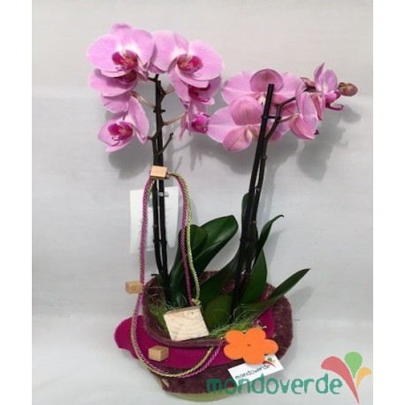 Phalaenopsis Alta