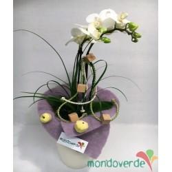 Phalaenopsis Piccola