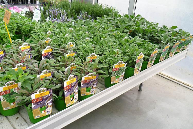 Piante aromatiche mondoverde belluno for Piante da orto vendita online